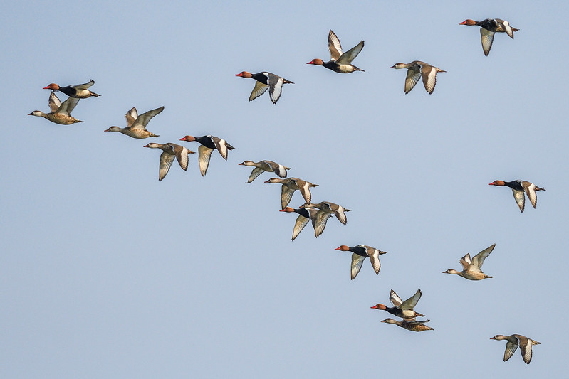 A-flock-of-red-crested-pochards-chambal.jpg