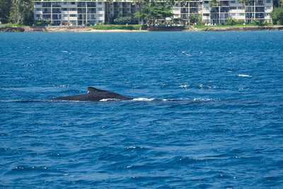 Maui - Whale Watching - March 2014