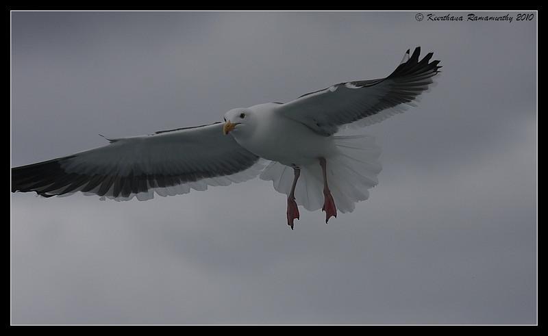Western Gull, Pelagic Trip Pacific Ocean, Islas Coronados, Mexico, March 2010