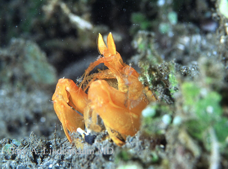 OrangeMantis1.JPG