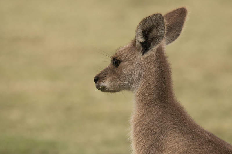 Young Eastern Grey Kangaroo, Australia