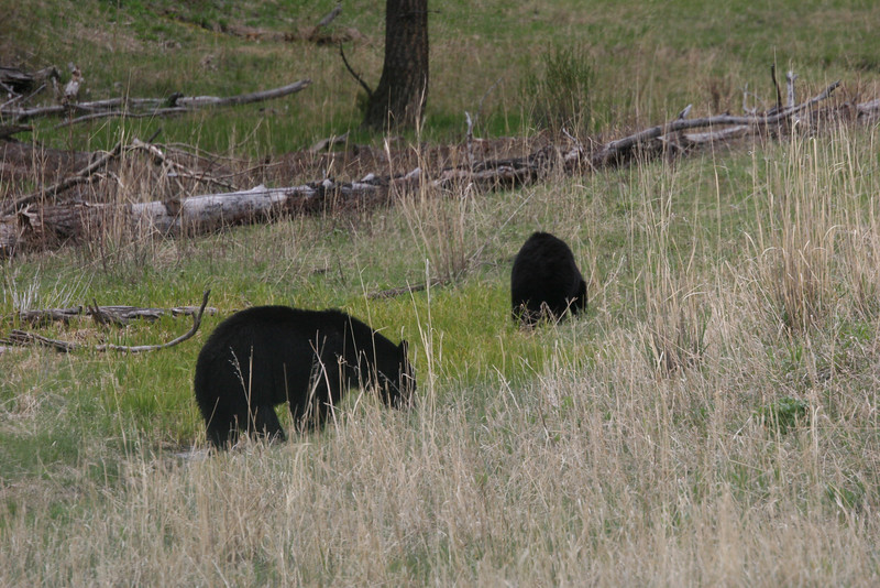 black bears ready to mate (so the ranger told us)