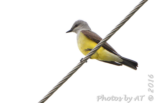 2016-05-30 Western Kingbirds