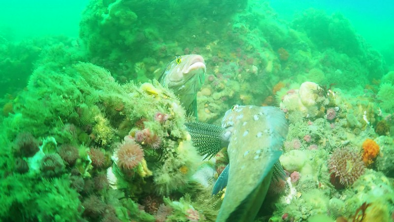Kelp Greenling males fight for territory