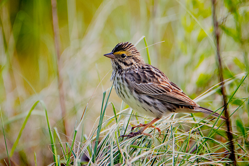 5.12.18 - Blackburn Creek Fish Nursery: Savannah Sparrow