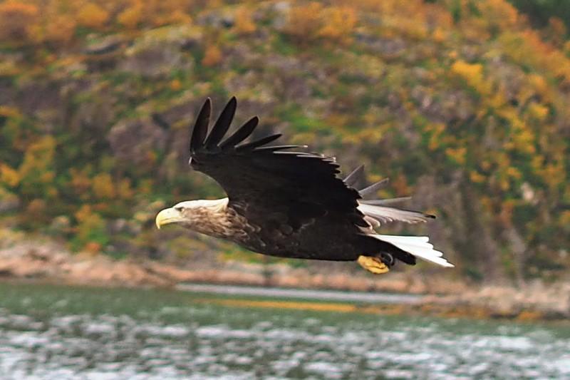 Sea eagles (26).JPG