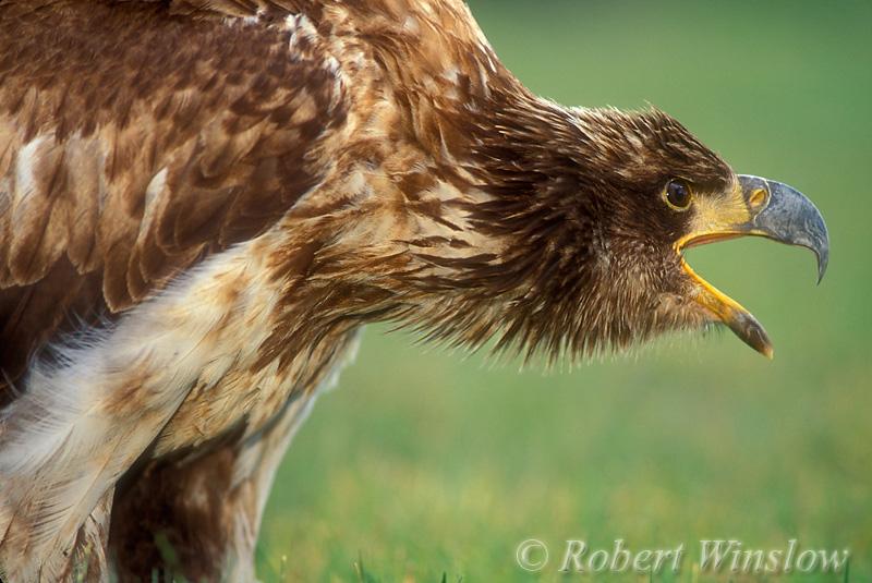 Immature Bald Eagle (Haliaeetus leucocephalus), Controlled Conditions