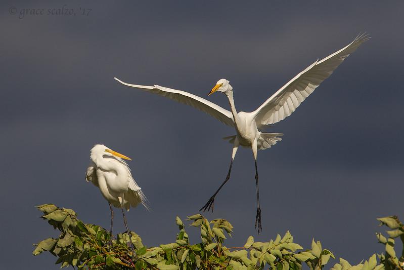 Great Egret Landing