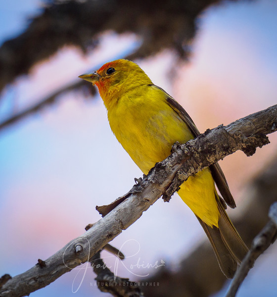Western Tanager that Suji conjured up