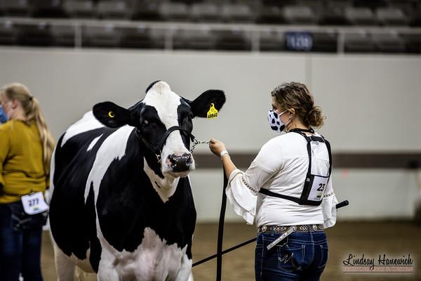 Steers - Senior Showmanship