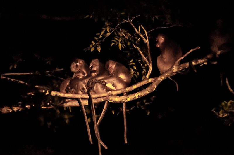 MONKEY - Macaque family at night-0595.jpg