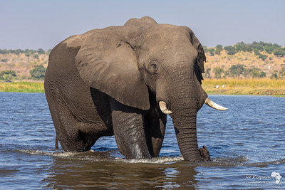 Big boy making his way through the Chobe