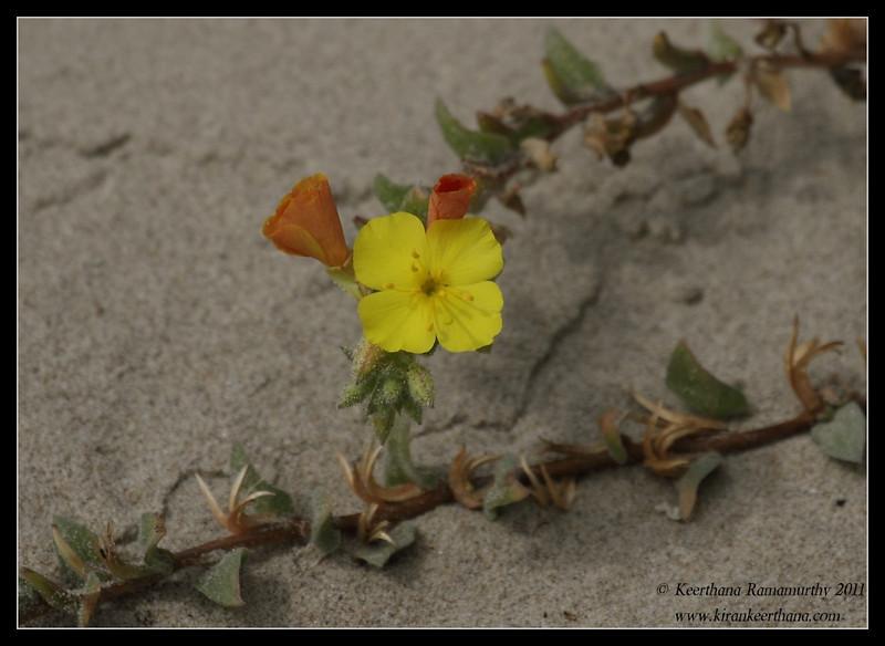 Bermuda Buttercup, Oso Flaco Lake, Pismo Beach, California, July 2011