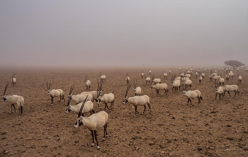 Arabian Oryx (36).jpg