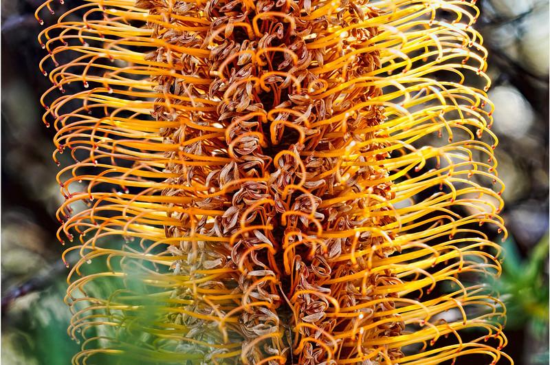 BanksiaCROPPED_1.jpg