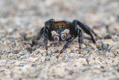 White-lined Jumping Spider