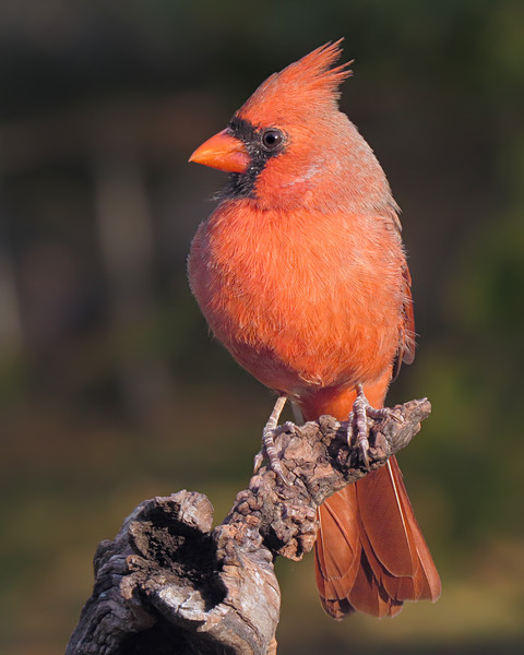 sx50_cardinal_boas_113.jpg