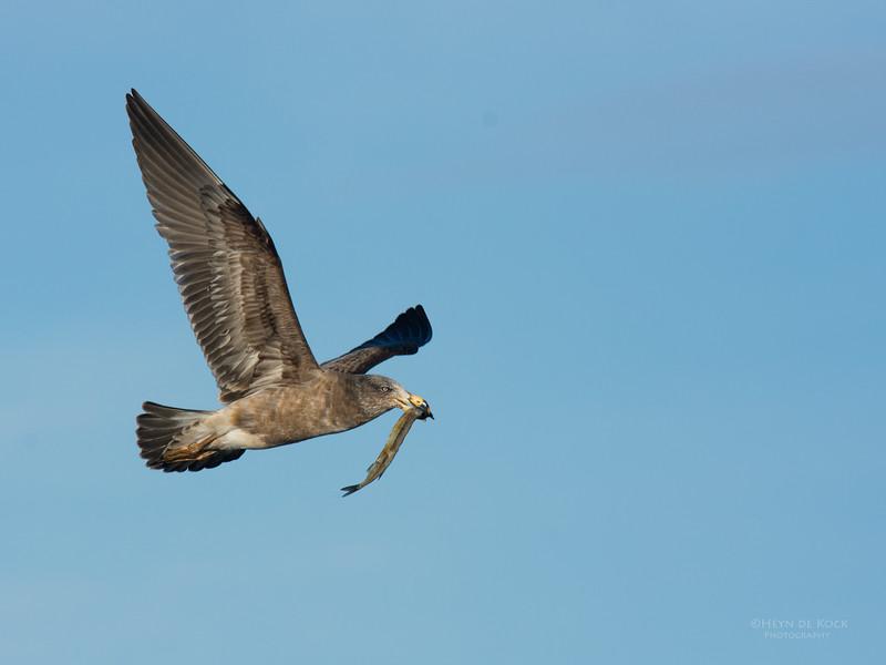 Pacific Gull, imm, Eaglehawk Neck Pelagic, TAS, July 2015-3.jpg