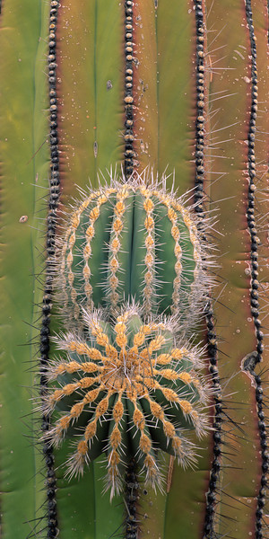 "Baja California, Mexico / Desierto Central, Cardon cactus, Pachycereus pringlei, with emerging ""arms"" with radiating patterns, in overcast light. 306VP2"