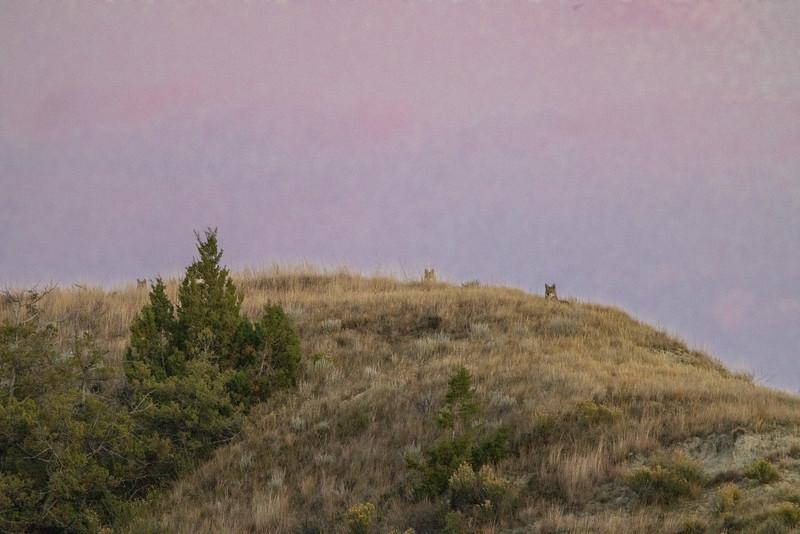 Coyote Theodore Teddy Roosevelt National Park Medora ND IMGC0747-2.jpg