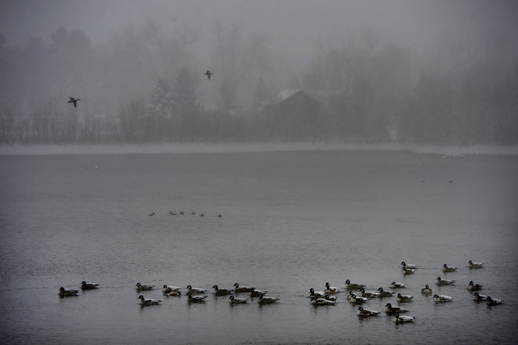 . LITTLETON, CO. - MARCH 23: Geese and ducks rest on Ketring Lake in Littleton, CO March 23, 2013. The Saturday forecast calls for snow accumulation of 9 to 12 inches with highs in the lower to mid 20s. (Photo By Craig F. Walker/The Denver Post)