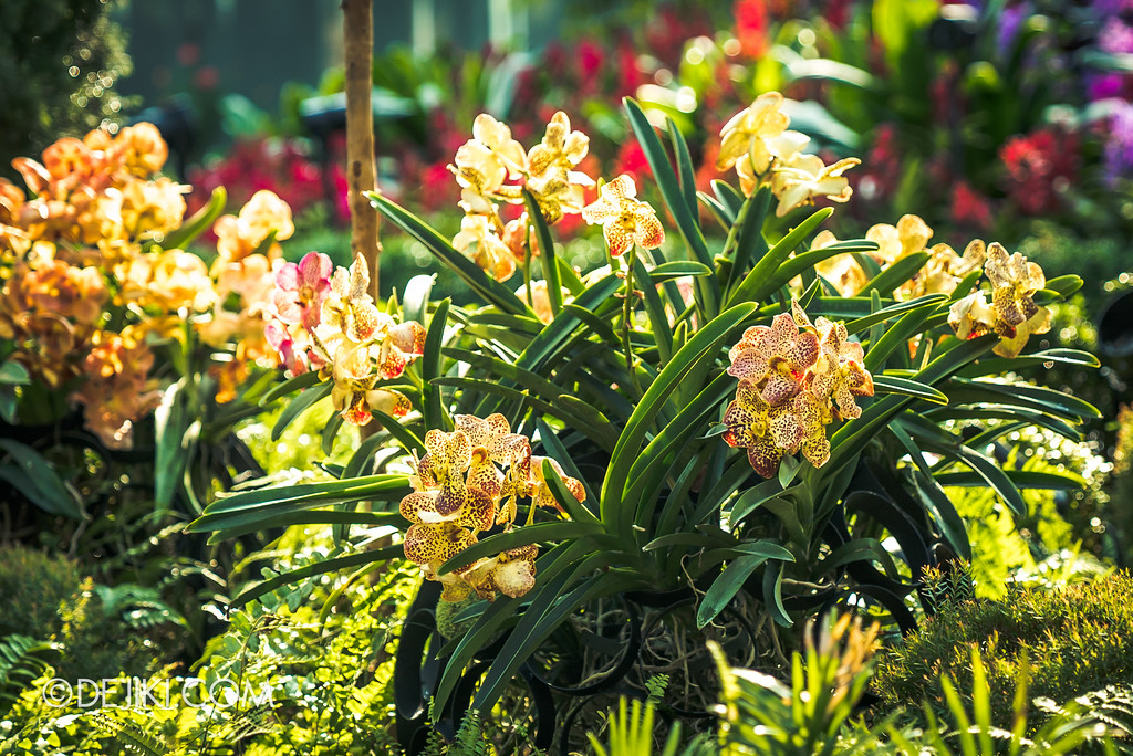Gardens by the Bay Flower Dome - Orchid Extravaganza Floral Display 2017 / Spotted yellow