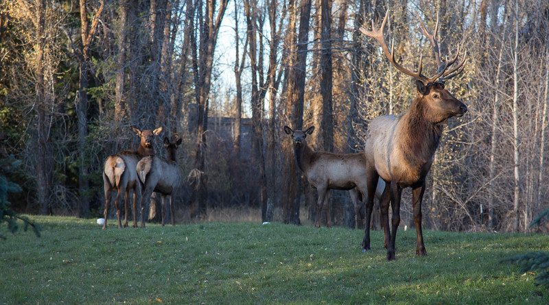 Elk (1 of 1)-5.jpg