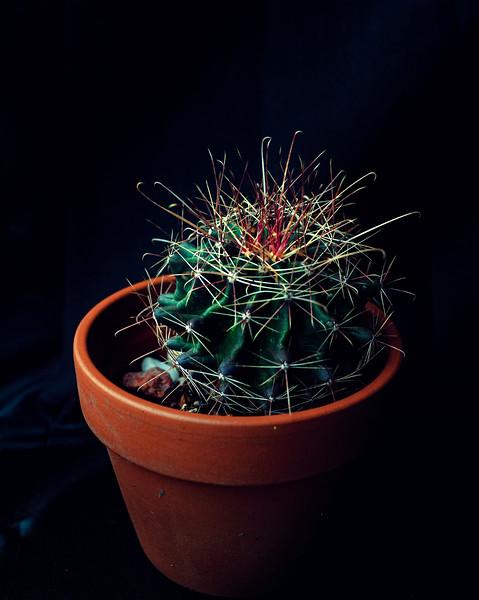 red head cactus 052520-.jpg