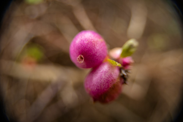Pink Snowberries