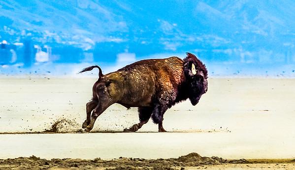 Great Salt Lake Bison