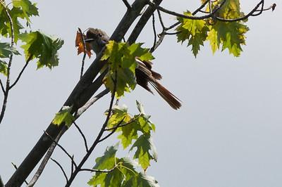 Unknown Flycatcher