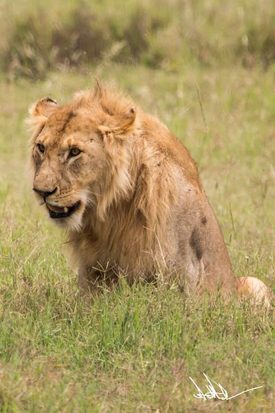 Lions Serengeti - S-10.jpg
