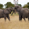 Young Elephant bulls arguing