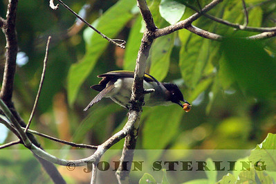 Sterling's Thailand Birds