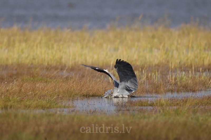 Grey heron dives for fish