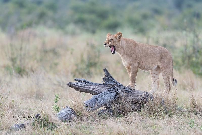African Lion, Savuti, Chobe NP, Botswana, May 2017-31.jpg