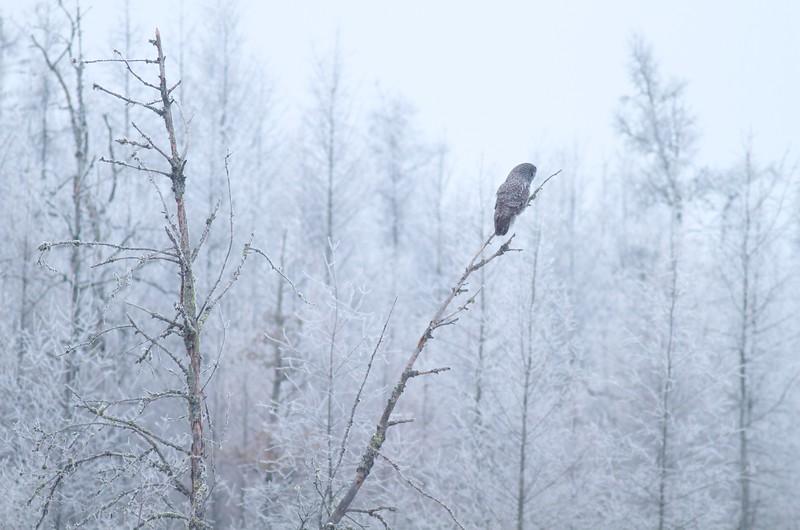 Great Gray Owl hoar frost Admiral Road Sax-Zim Bog MN IMG_1932.jpg