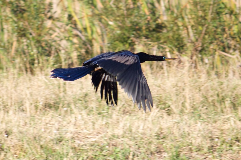 anhinga flying