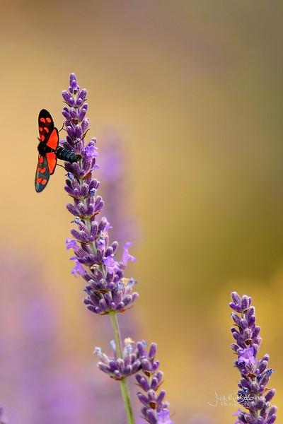 Butterfly and lavanders.jpg