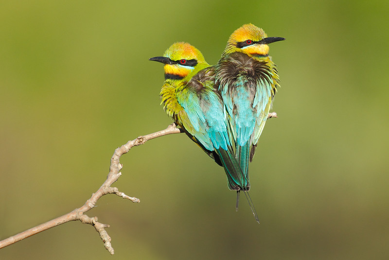 Rainbow bee-eaters 3.jpg