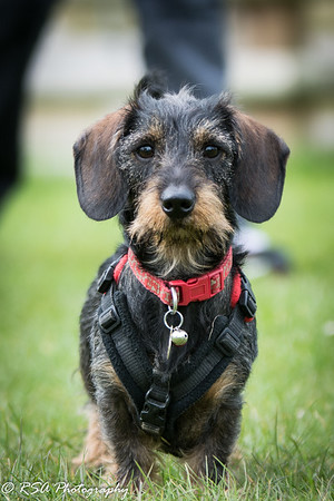 Berkshire, Hampshire and Surrey Dachshunds