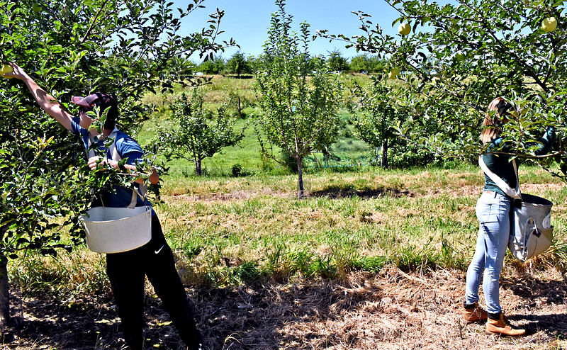 Autumn Hills Orchard staff workers L-R, Brendan Camalio 17 and Paige Bailey 20 both of Groton, picking Ginger Gold apples. SUN/David H. Brow
