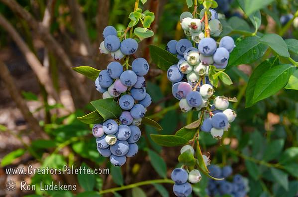 Legacy Blueberries (Vaccinium corymbosum x)