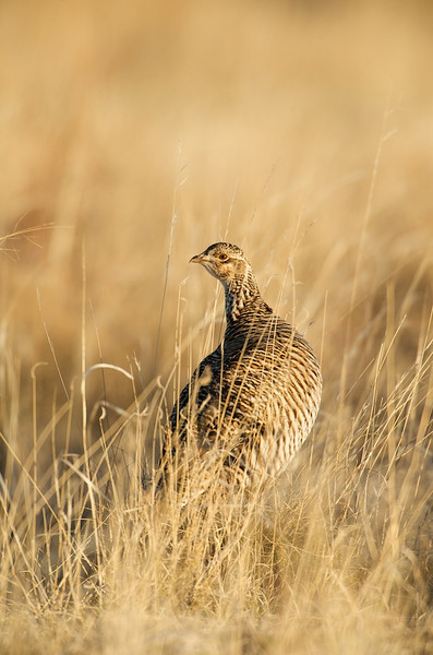Lesser Prairie Chicken #7