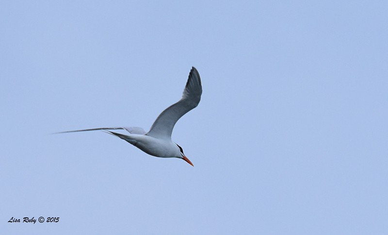 Royal Tern - 4/25/2015 - Pelagic from Point Loma
