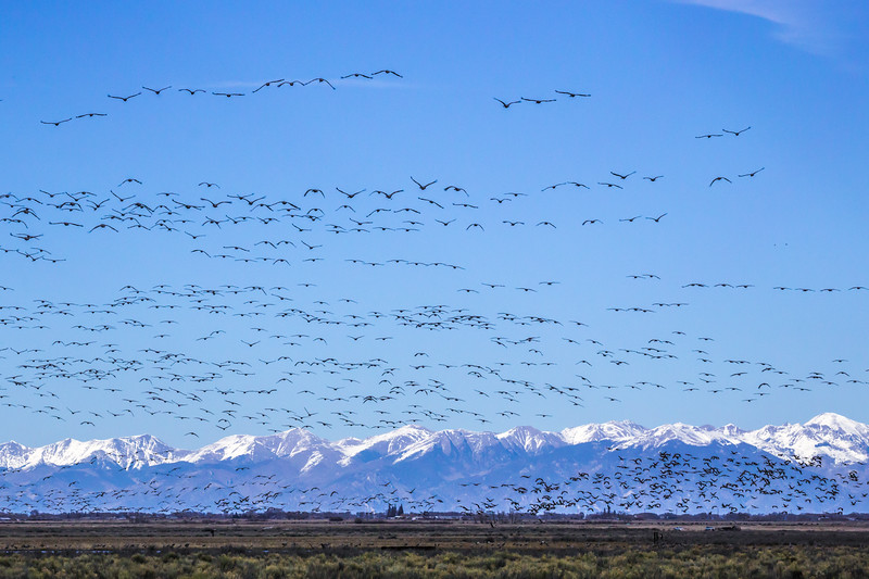 Sandhill Crane Migration in Colorado