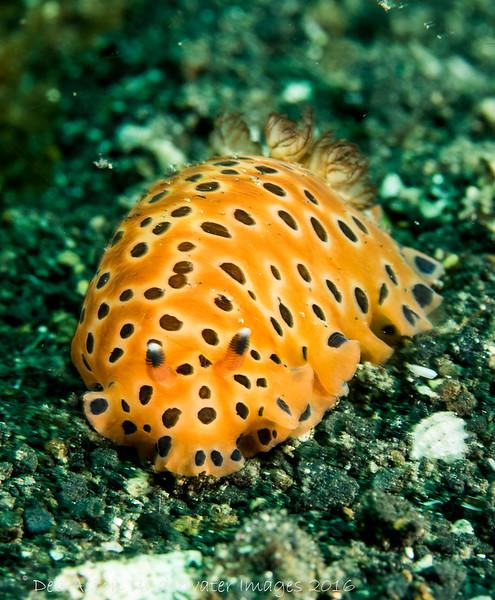 Dendrodoris guttata
