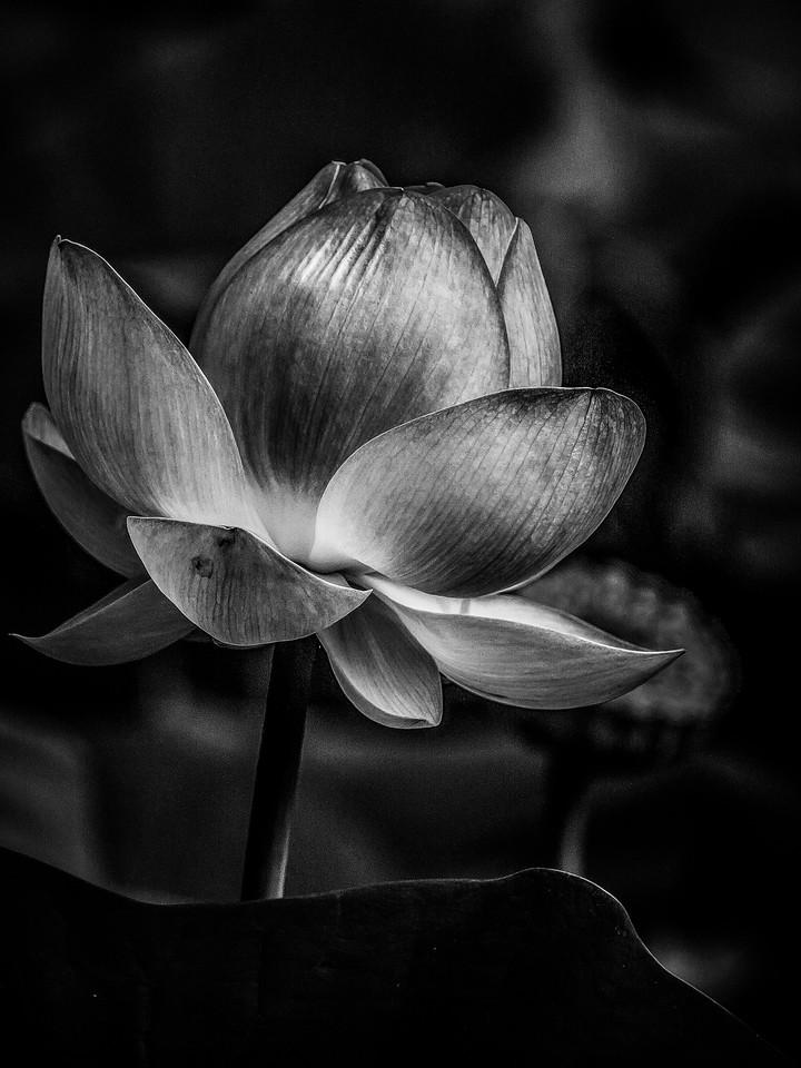 荷花,黑白写真
