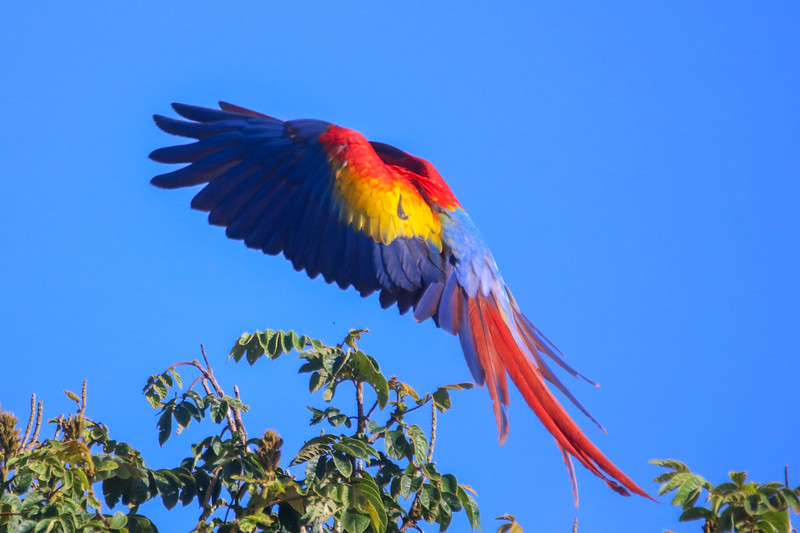Macaw showings its Feathers