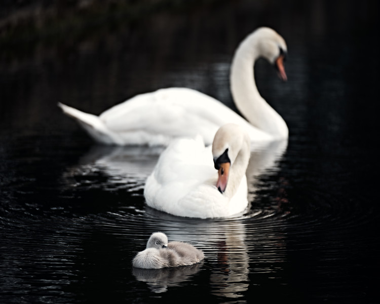 Swans_Of_Castletown021.jpg